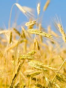 Grain ears in wheat field
